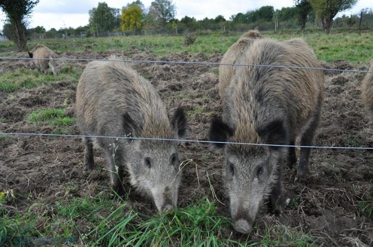 Die Schweinebande