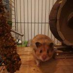 Pixel the Hamster